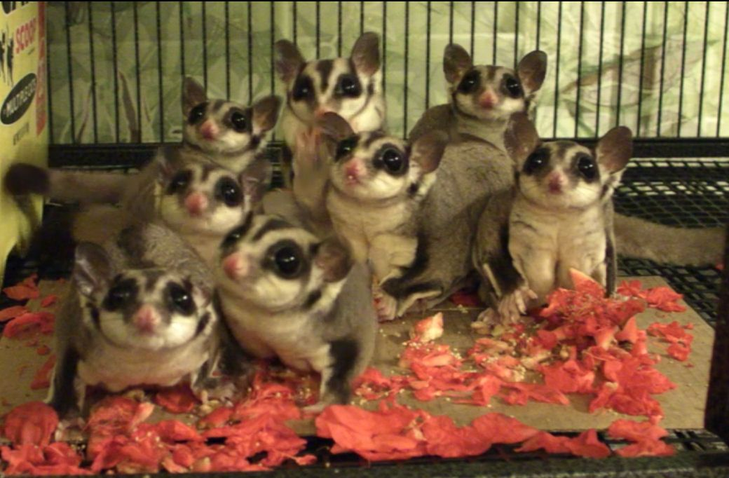 Are Sugar Gliders Good Pets? Pets, Sugar glider baby