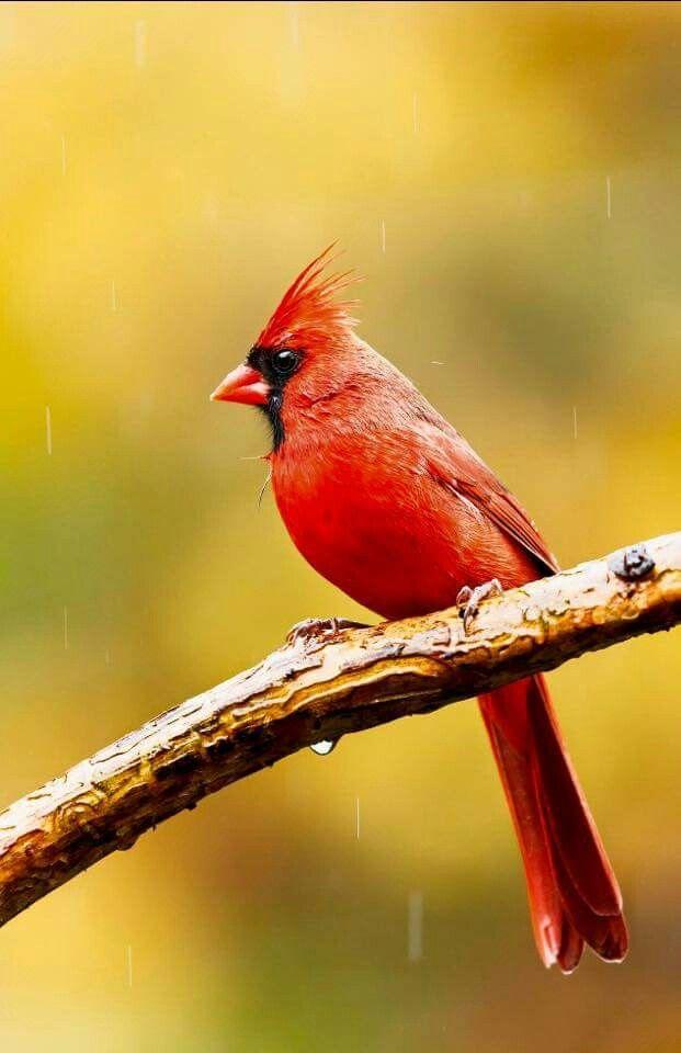 Cardinal Cardinal Birds Cardinal Pictures Animals