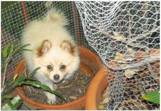 For the love of Pomeranians #dogslife #pomeranians