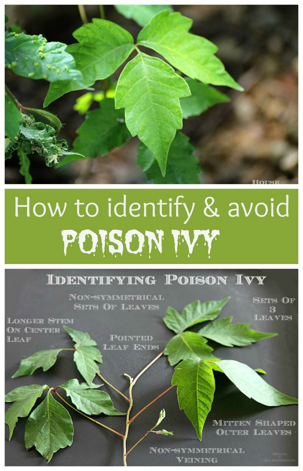 ivy poison ivy Poison ivy can give you a nasty rash find out more about it - and the other plants that can make you itch - in this article for kids.