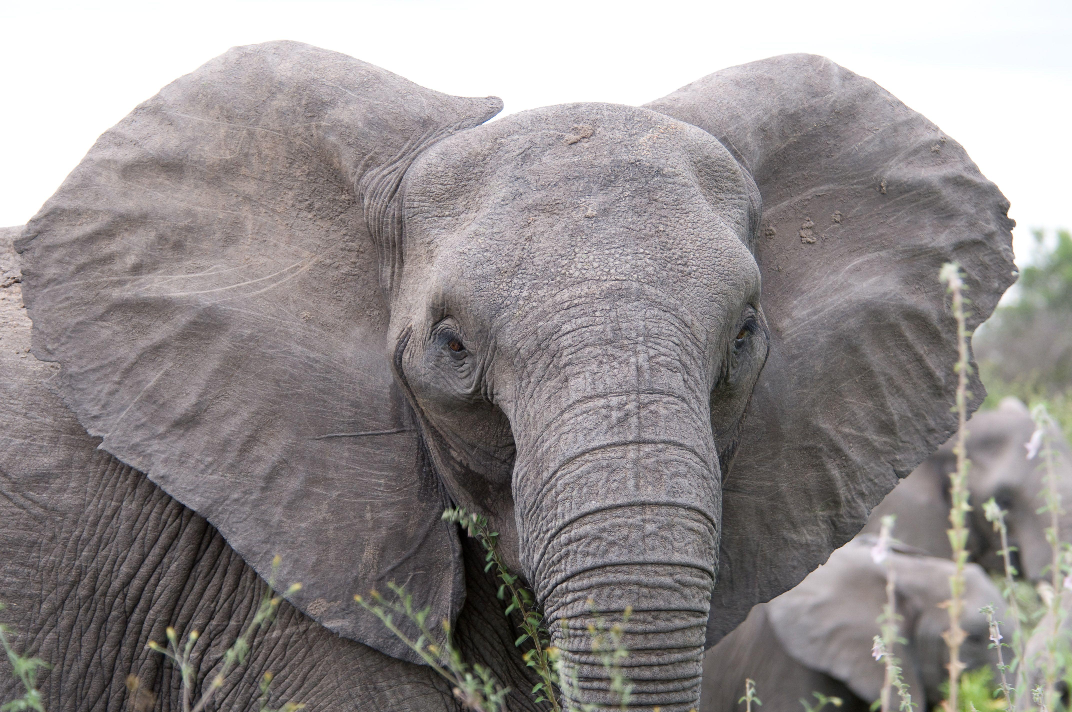 File:Angry elephant ears.jpg | Animals | Pinterest | Elephant ears ...