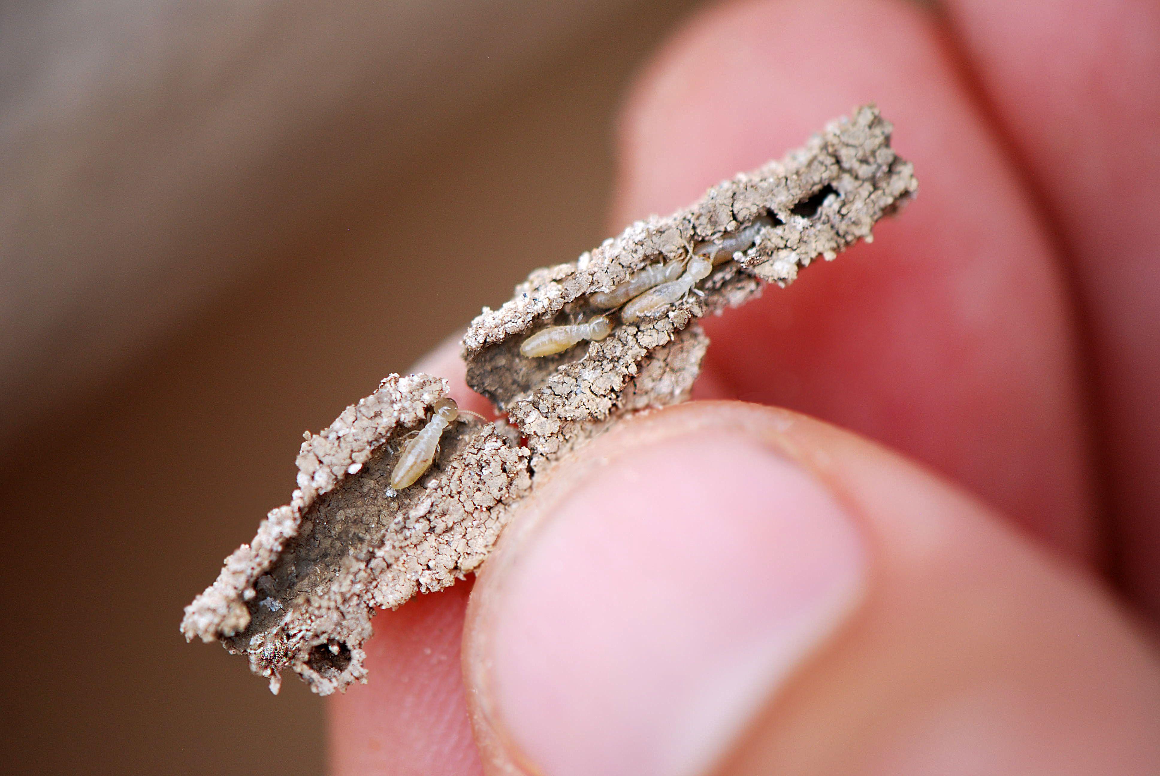 Termites in Termite tube PestControl PestControlTucson
