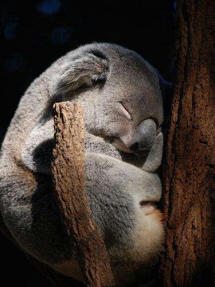 Coala - so cute