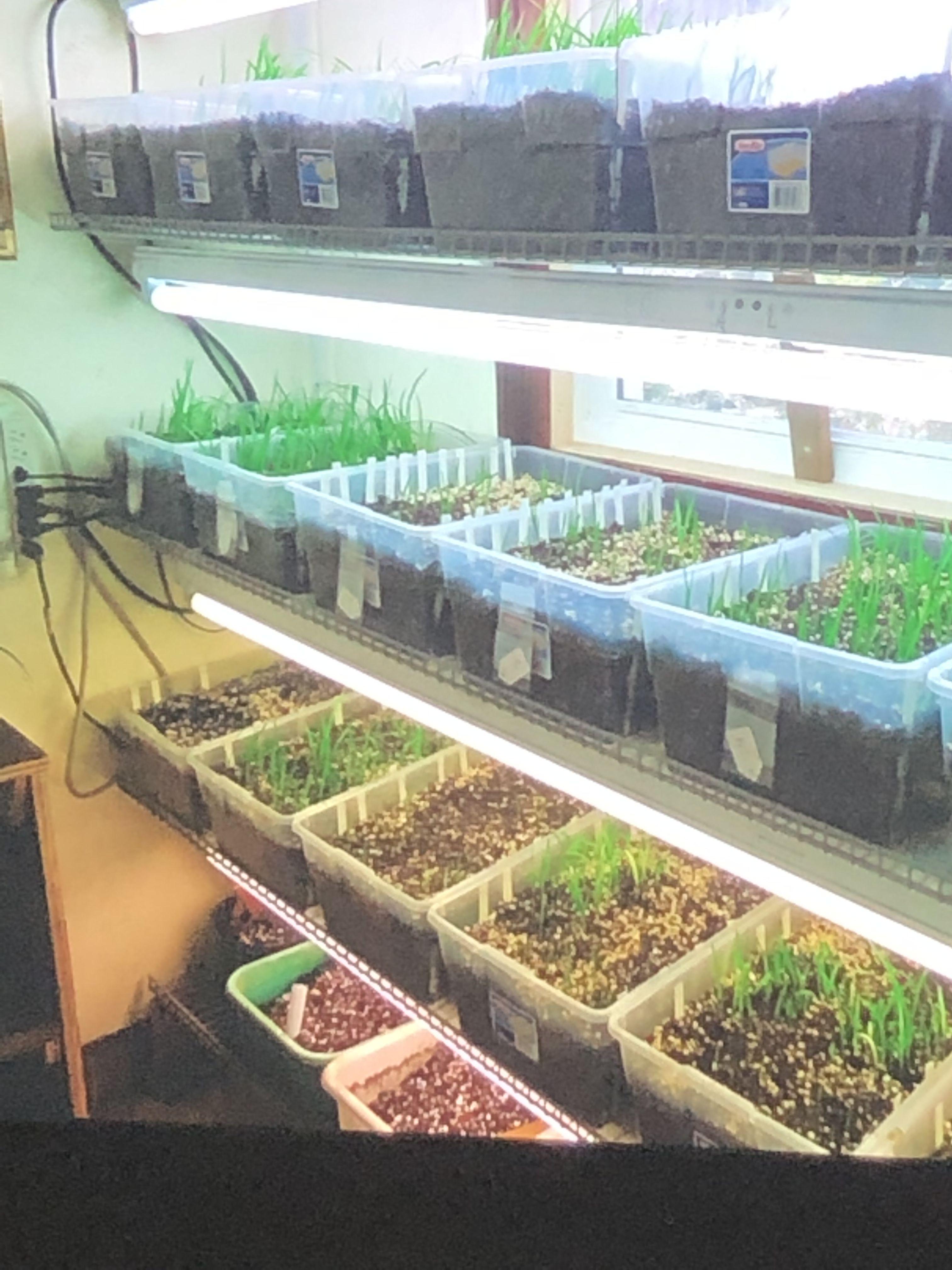 Plant Seeds In Bins Around February Using Regular Fluorescent