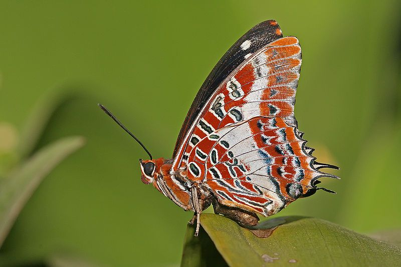 330pxCharaxes_brutus_natalensis.jpg (800×533) (With