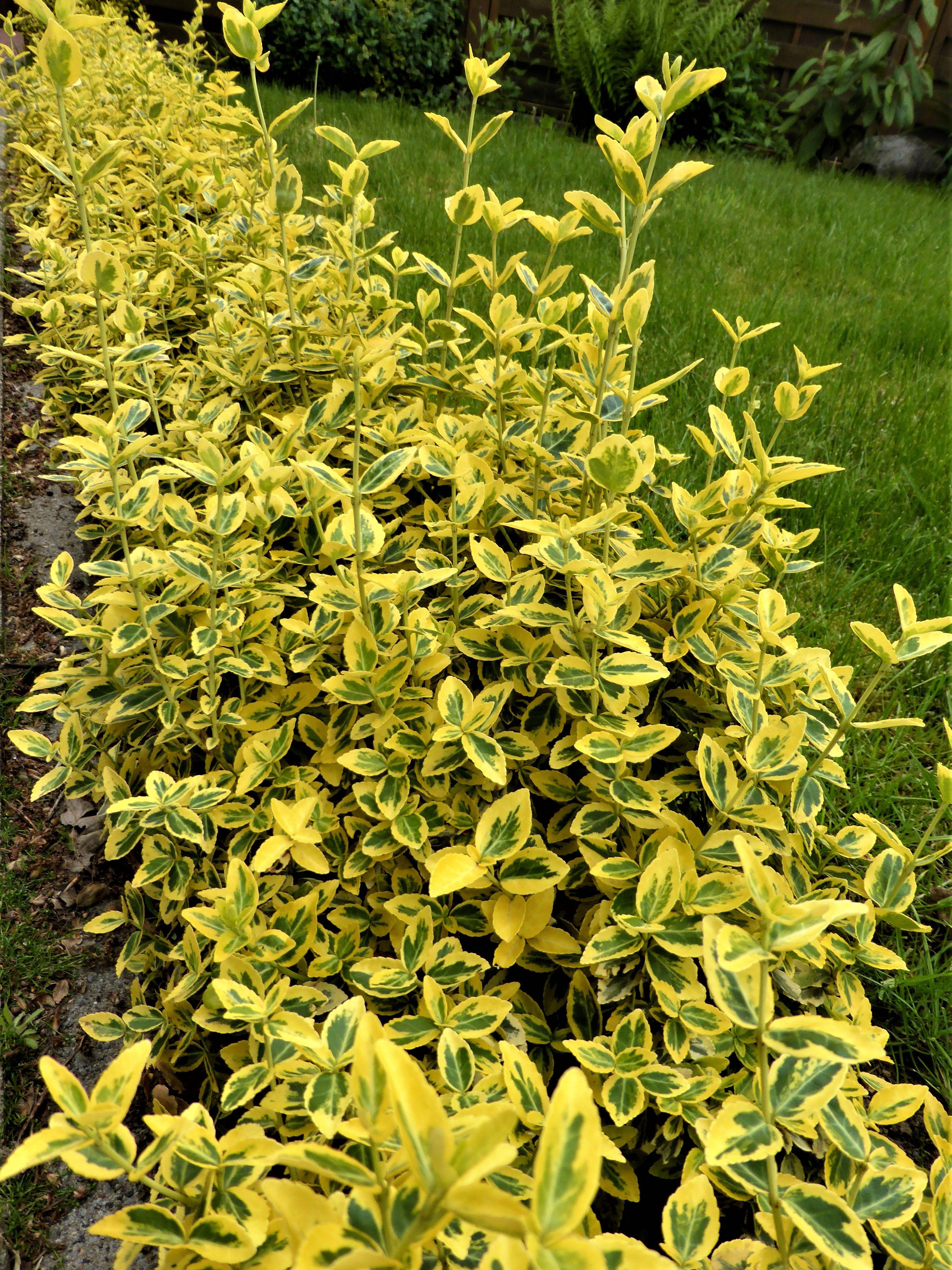 Kriechspindel Eine Alternative Zum Buchsbaum Buche Baum Buchsbaum Garten Pflanzen