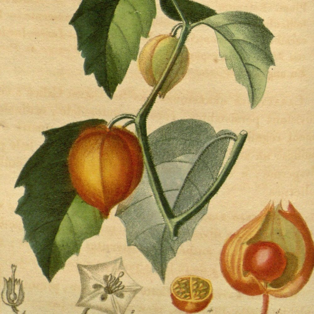 Chinese Lantern Plant - Physalis alkekengi - Excellent for ...