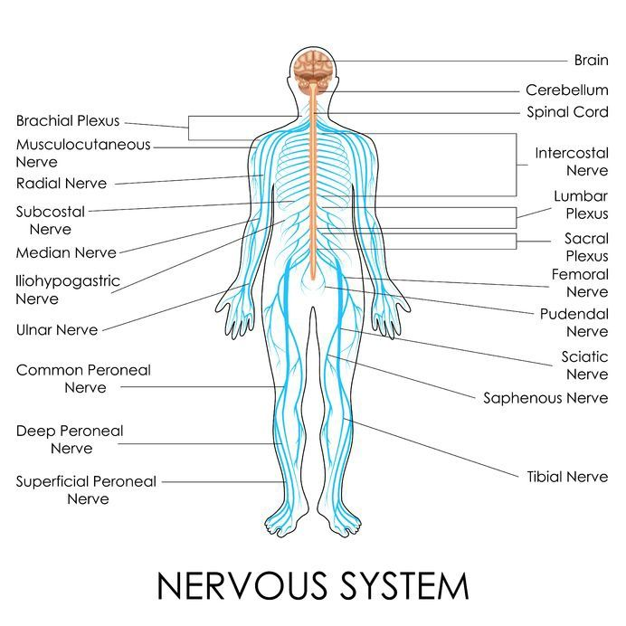 Human Bodys Nervous System Primary Nerves Are Labeled Abc Fast