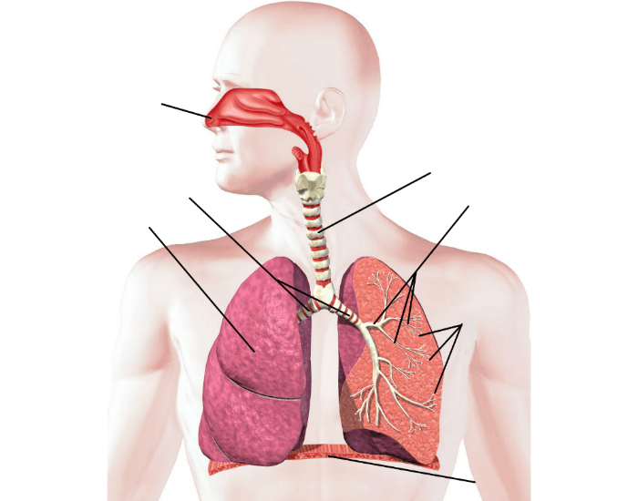This Is A Quiz Called Respiratory System Labeling Interactive And Was Created By Member