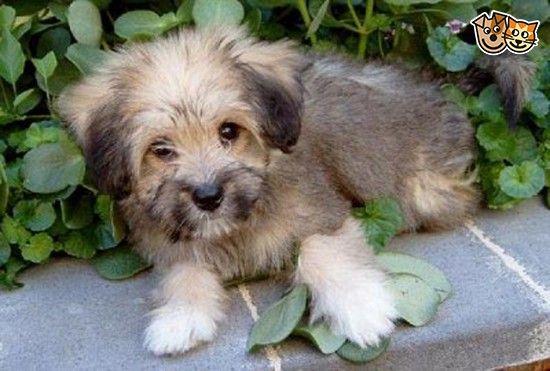 KC Registered Tibetan Terrier Puppies Tibetan terrier