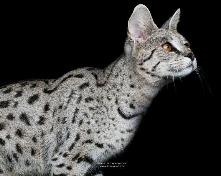 F1hybrids Savannah Cats In 2020 Savannah Cat Savannah Kitten Savannah Cat Breeders
