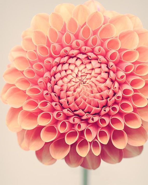 Dahlia Wall Art Print Floral Wall Decor Living Room Etsy Flowers Photography Beautiful Flowers Photography Flowers Photography Wallpaper