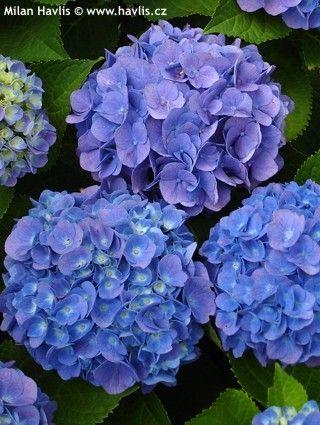 Hydrangea Macrophylla Forever Ever Blue Heaven 4 T X 3 W Blooms Spring Fall Hydrangea Macrophylla Hydrangea Flowers Nature