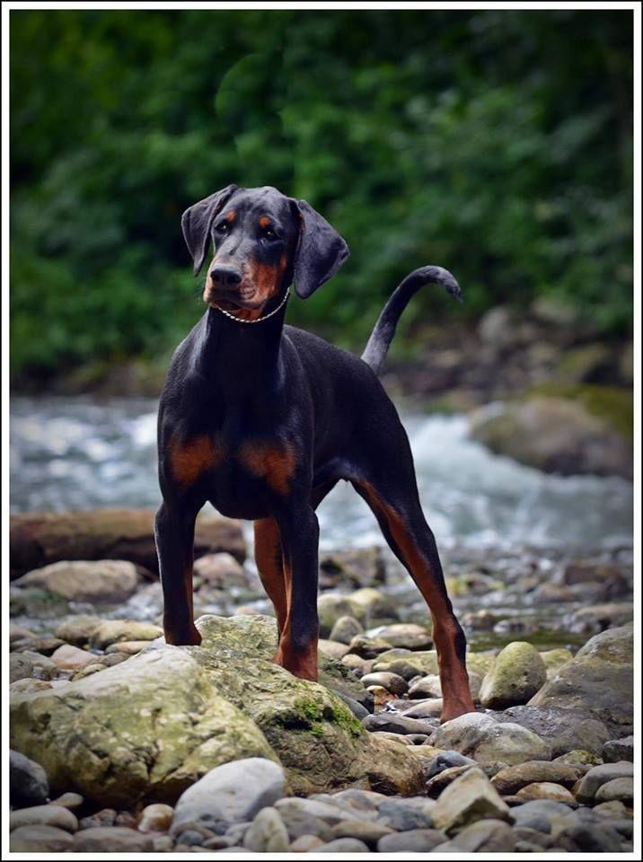 Majestic Ruby By Ig Rubydooby Do Doberman Dogs Animals