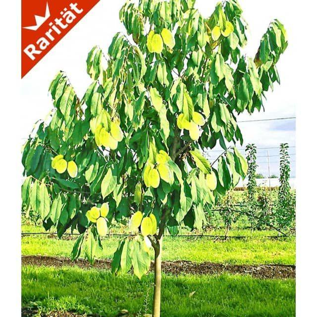 hÄberli's indianer-banane® prima®- veredelte sorte, 1 pflanze, Garten und erstellen