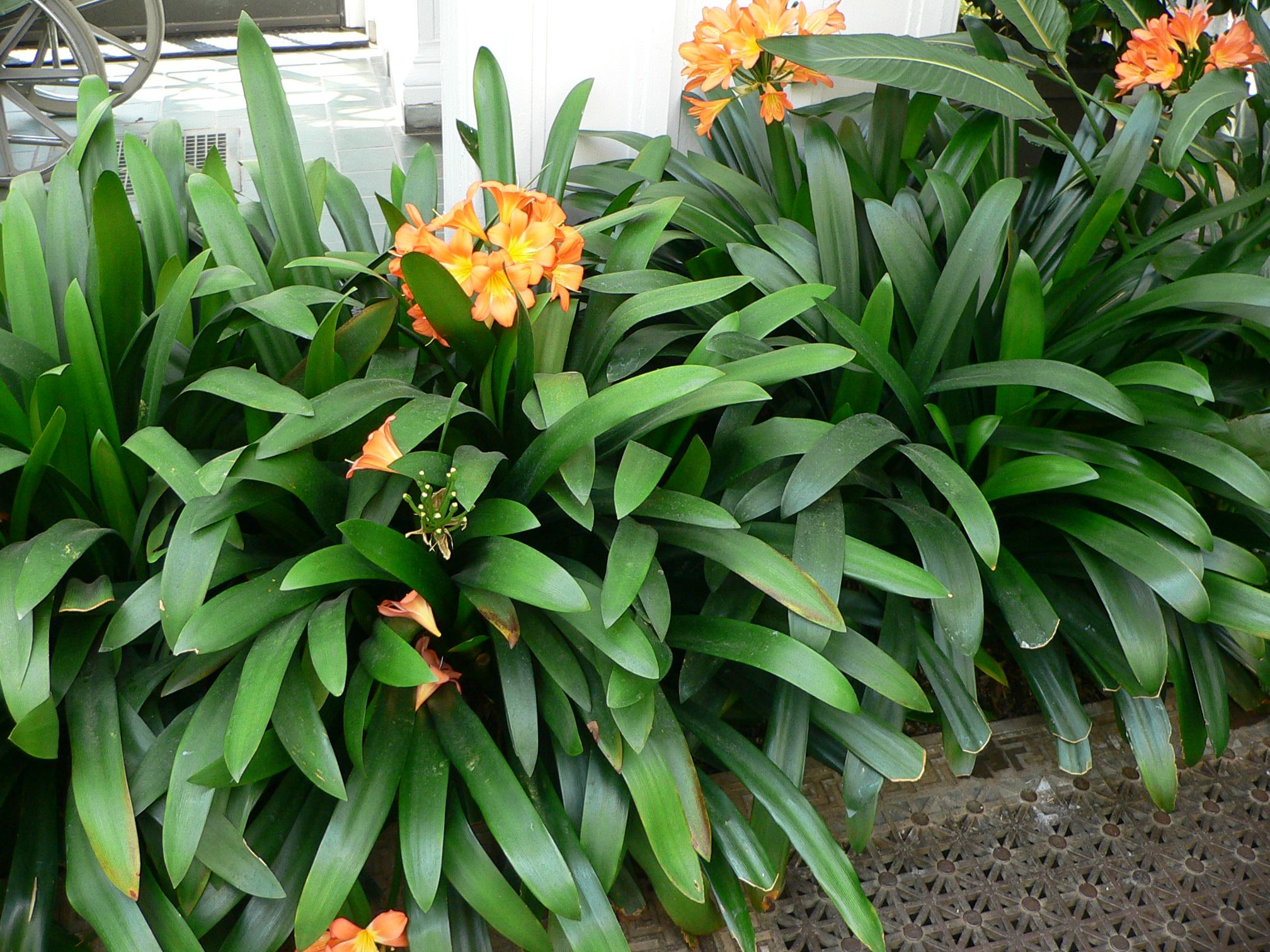 clivia Maybe for below the bamboo Garden Ideas Pinterest