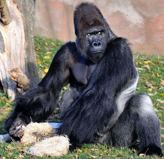 Un imponente gorila occidental en el zoo de Praga, Chequia (Rex Features, 2015)
