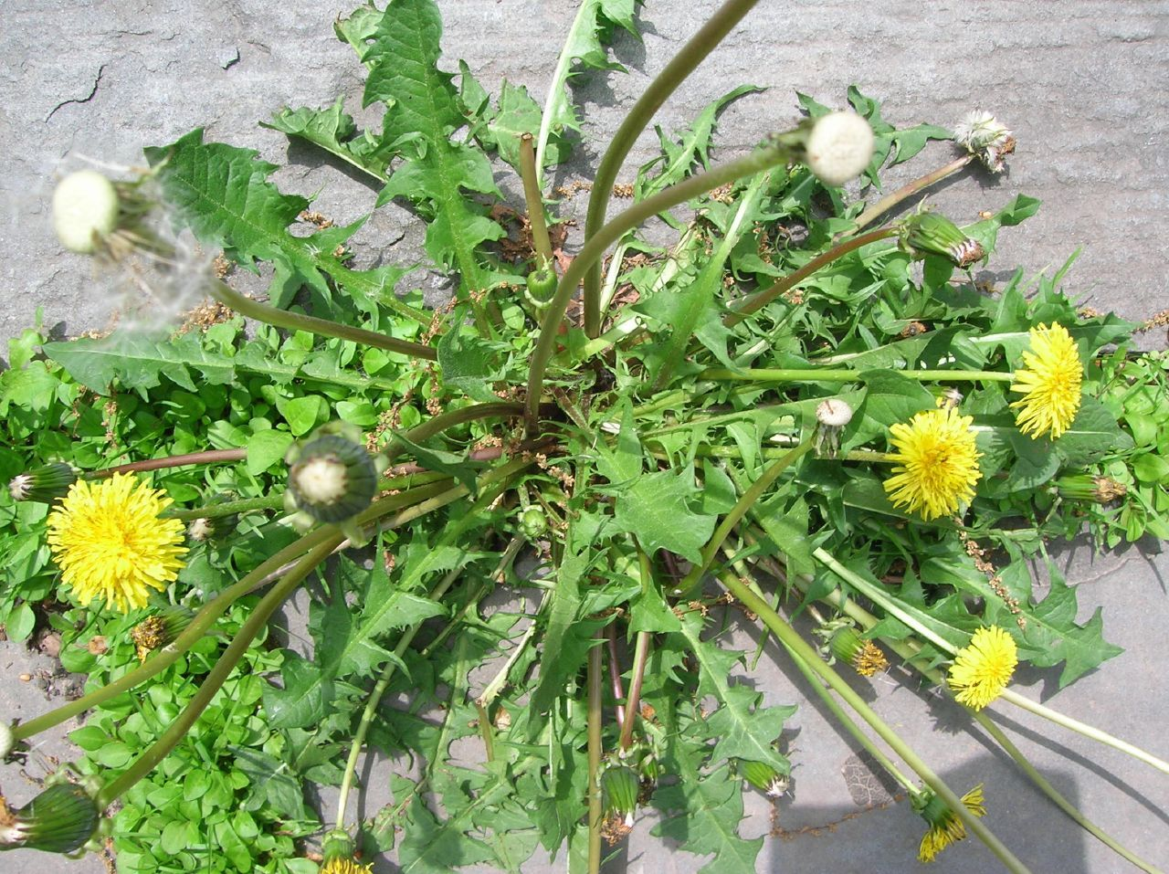 Spraying weeds in flower beds - Edible Weeds Don T Kill The Weeds In Your Yard Eat Them