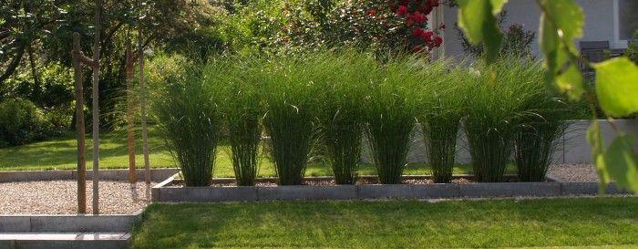 Gräser Als Sichtschutz chinagras gracillimus als saubere gräserhecke feinhalm