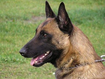 The Malinois is a mediumtolarge and squareproportioned