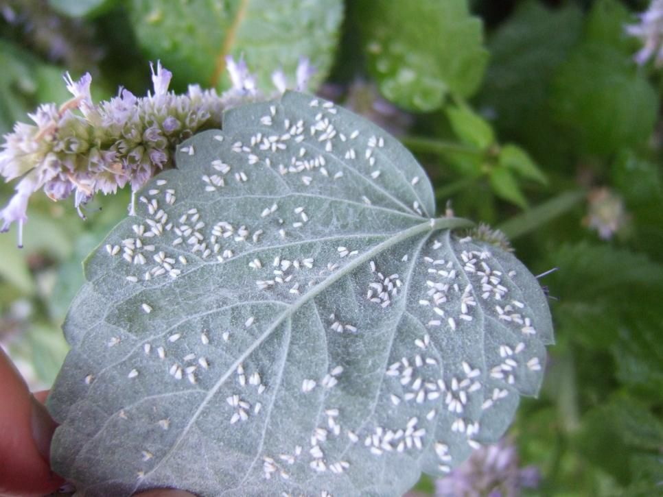 The Name Whitefly Is Fairly Descriptive Of What These Pesky Insects Look Like Tiny White Flying Bugs Garden Pests Garden Pest Control Lawn Pests