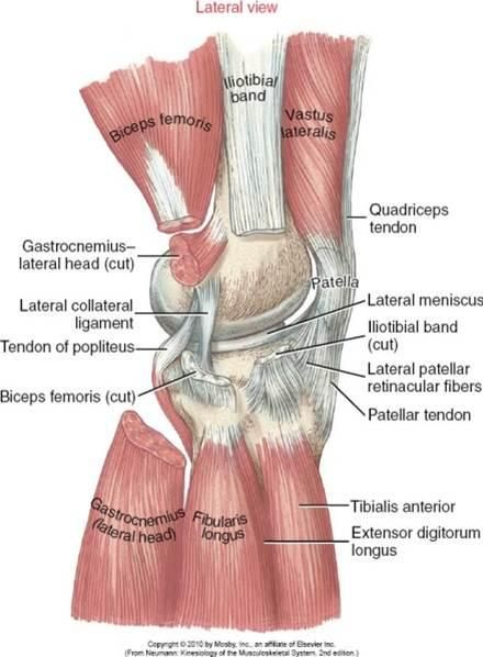 tendon of biceps femoris | KINS Chapter 13 - Knee | Anatomy of the ...