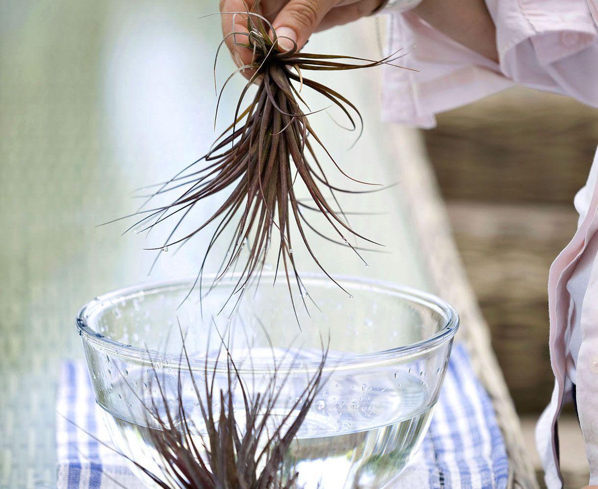 Comment Cultiver Les Tillandsias Plantes Sans Terre Cultiver Et