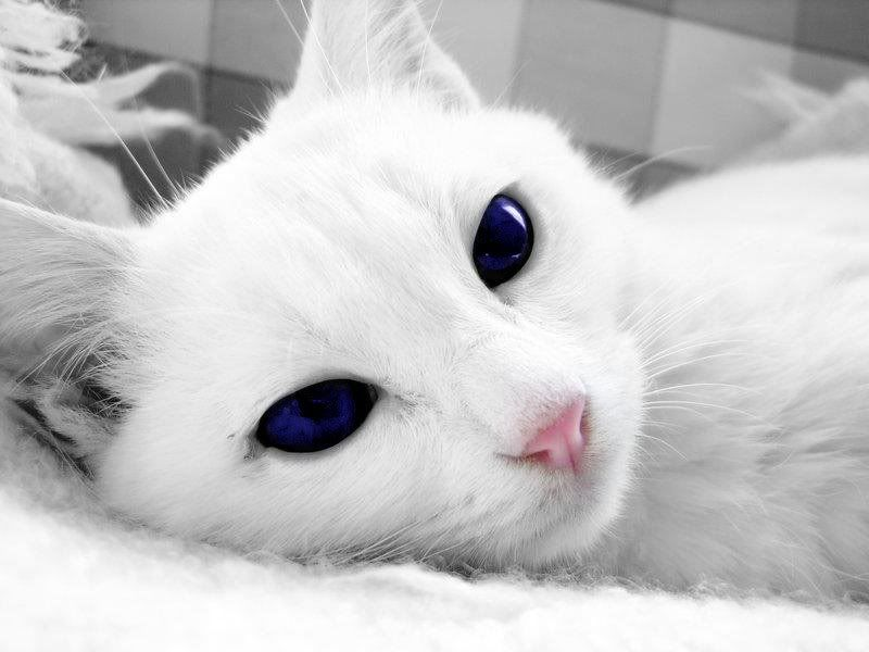 White Cats With Blue Eyes In Snow Beautiful blue snow ...