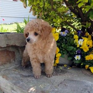 Available Puppies Jaipur Toy Poodles Puppies Poodle Toy Poodle