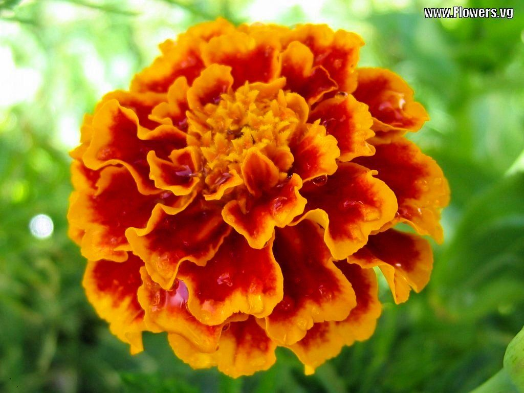 Http Images Flowers Vg 1024x768 Marigold Orange Yellow Red Jpg Marigold Flower Flowers Flower Pictures