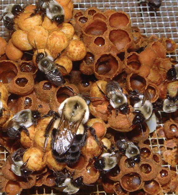 bumble bee nest honig biene wachs pinterest bienen hummel und wachs. Black Bedroom Furniture Sets. Home Design Ideas