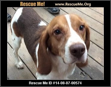 Beagle Dog For Adoption In Atlanta Ga Adn 814436 On Puppyfinder