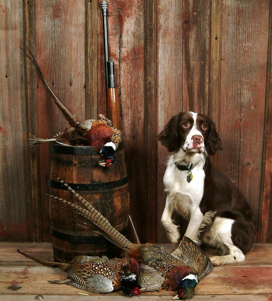 Classic Pose Good Looking Springer Springer Spaniel Puppies Springer Spaniel Bird Dogs