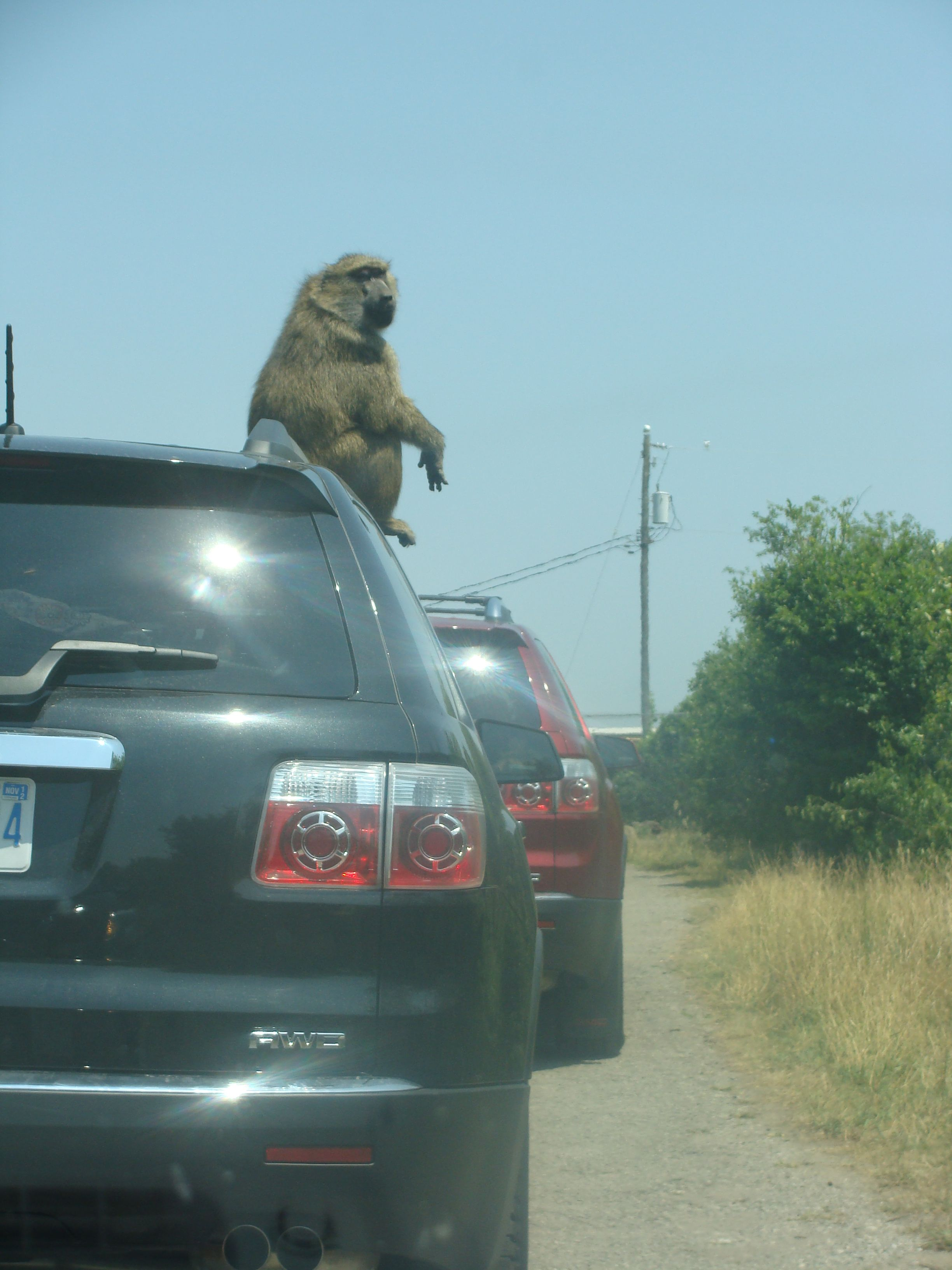 Stow Away Monkey African Lion Safari Lion Safari African Lion Safari