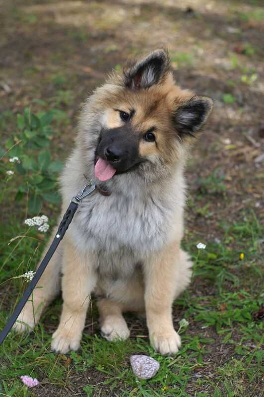 Eurasier Puppy Harahill S Kamomilla Beautiful Dogs Pretty Dogs Puppies