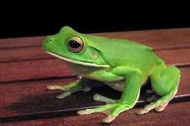「frog」の画像検索結果