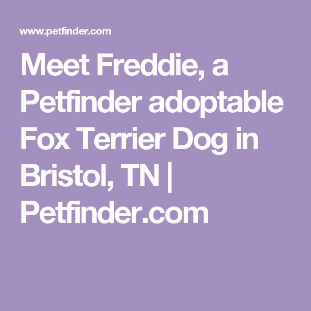 Meet Freddie A Petfinder Adoptable Fox Terrier Dog In Bristol Tn