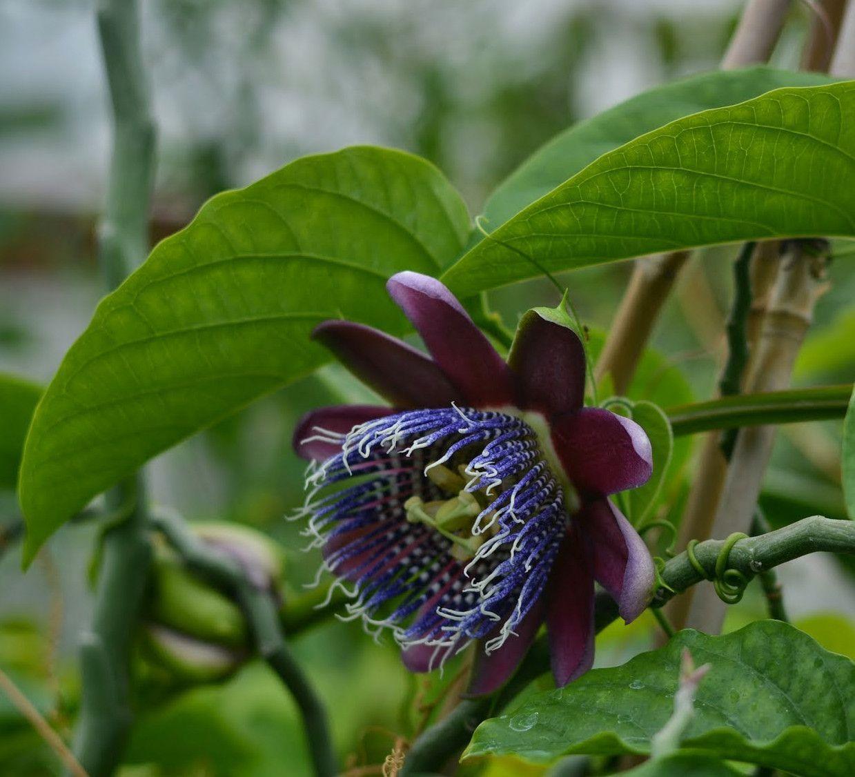 Passiflora Preciosa 4 Pot Passiflora Passion Flower Dark Flowers