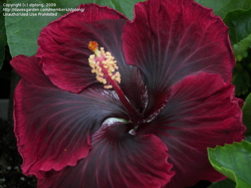Blooming In Xenia Ohio Hibiscus Rosa Sinensis Hibiscus Flowers