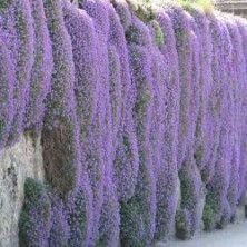 Campanule des murs et sur ma terrasse pinterest campanule mur et bordures fleuries - Campanule des murs ...