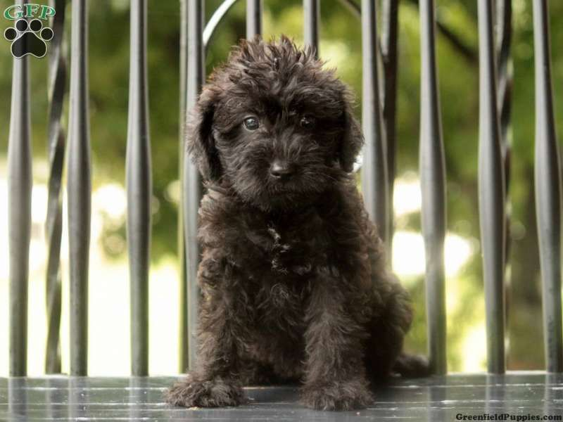 Pin By Yve Cage On Puppy Love Schnoodle Dog Schnoodle Schnoodle Puppy