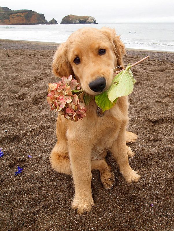 Flower Pup A206529 Dogs Retriever Puppy Puppies