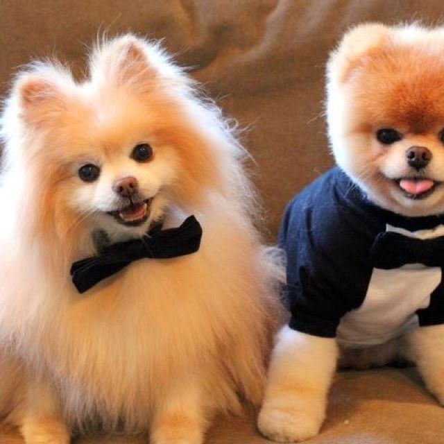 teddy bear pomeranian prices pomeranian teacup teddy bear cut google search puppy 1355