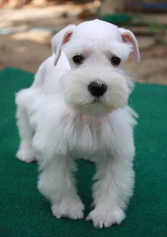 View Image From Tarad Images Server Miniature Schnauzer Schnauzer Dogs Schnauzer