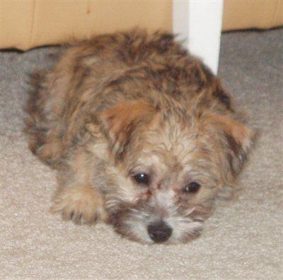 Cairn Terrier Mix Dogs Cairnese Cairneses Cairn Terrier