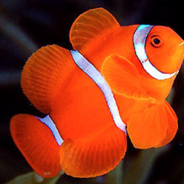 Maroon Clownfish Or Premnas Biaculeatus Clown Fish Marine Fish Marine Animals