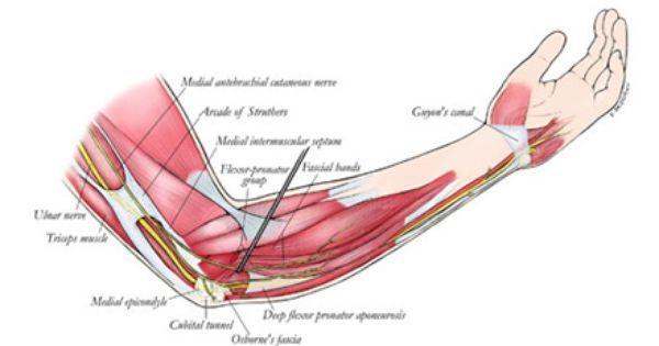 Arm Muscle Chart Mersnoforum