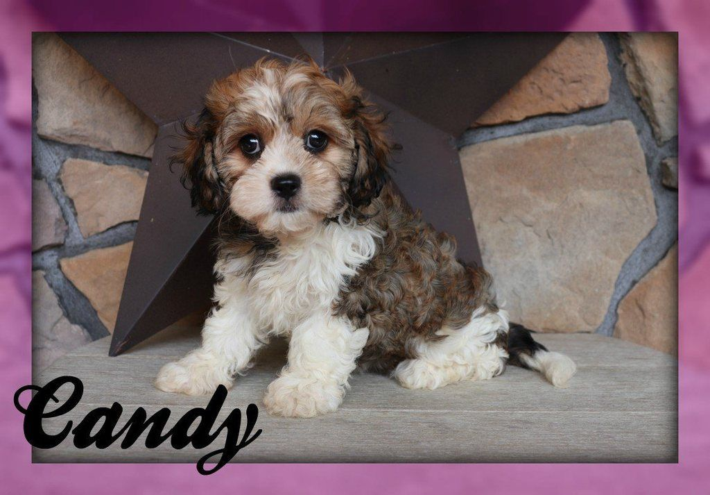 Candy Female Havalier Full Price 800 Deposit Your Pet