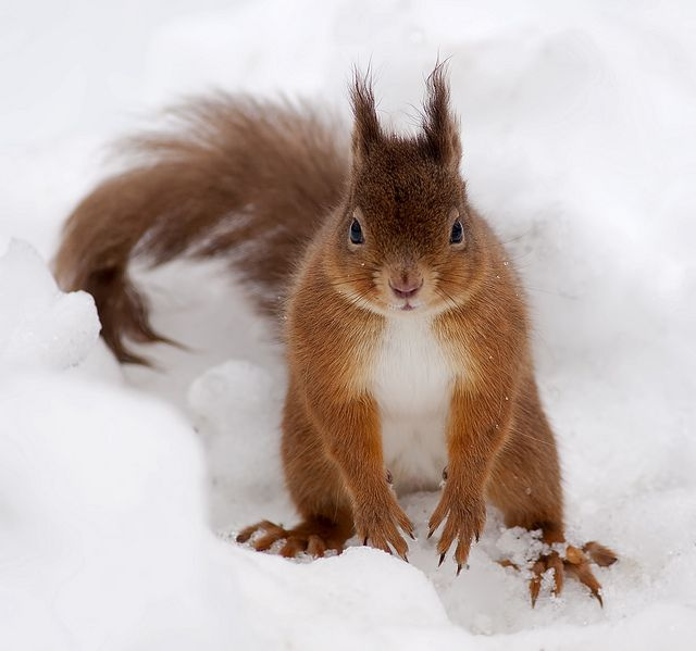 Red Squirrel in Snow burying nut.