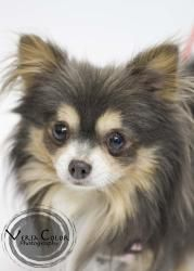Sausage is an #adoptable Chihuahua Dog in #SaintLouisPark, #MINNESOTA. Sausage will be at the following events from 12:30-2:30pm: � 3/16 at Pet Stuff in Plymouth � 3/23 Urbanimal 2106 Lyndale Ave S Minneapoli...